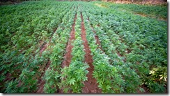kentucky-set-to-be-first-state-to-legalize-hemp-production.si